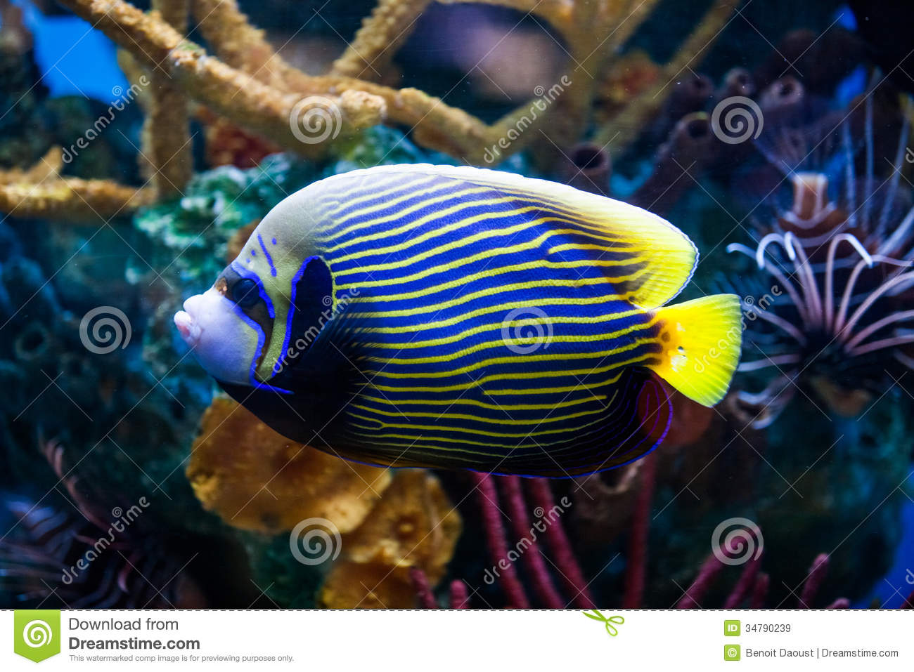 Saltwater aquarium - Imperial Anglefish Closeup In Saltwater Aquarium Royalty Free Stock Images