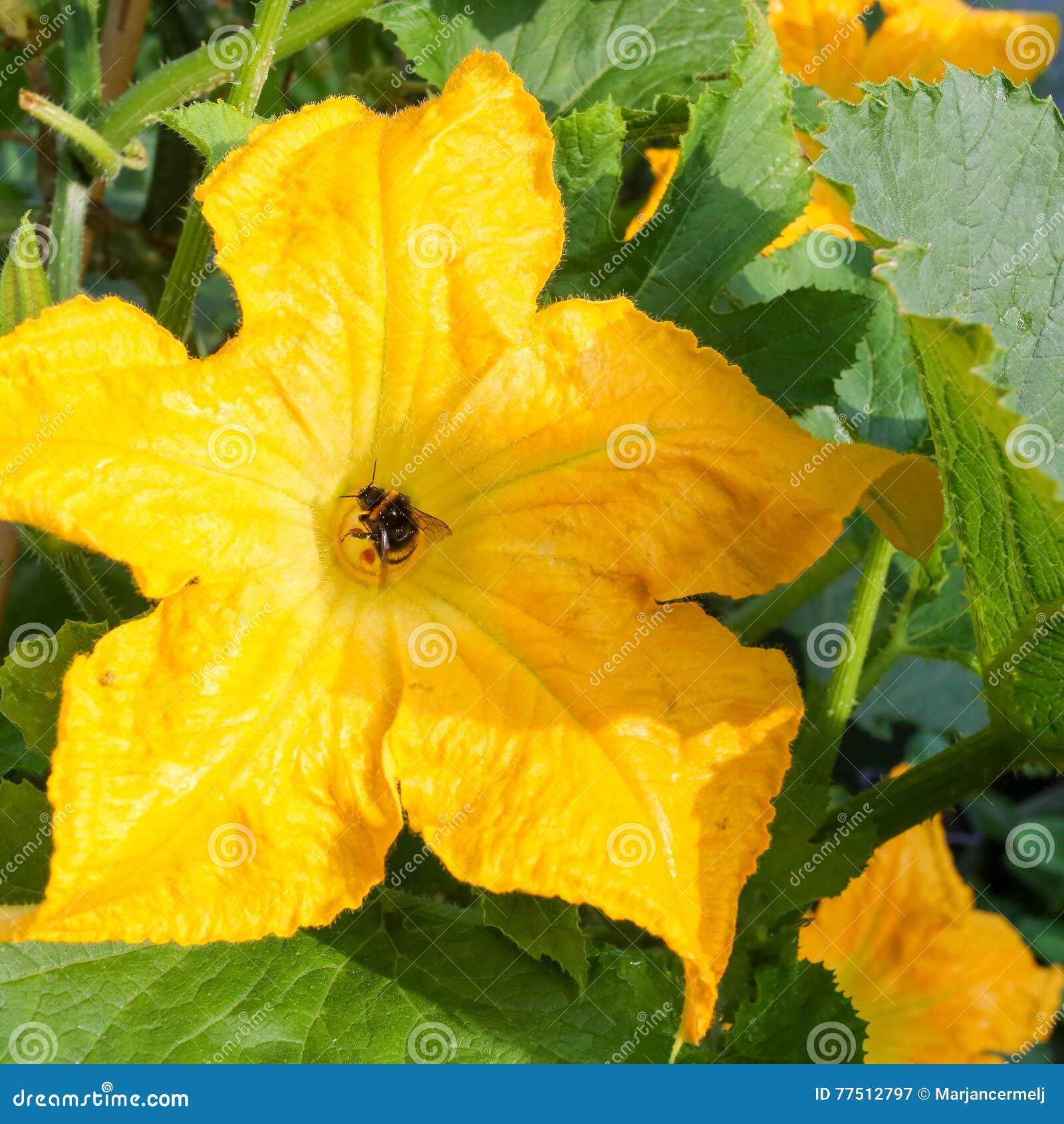 Varietà Zucchine Da Fiore impollinazione gialla del bombo dello zucchini del midollo
