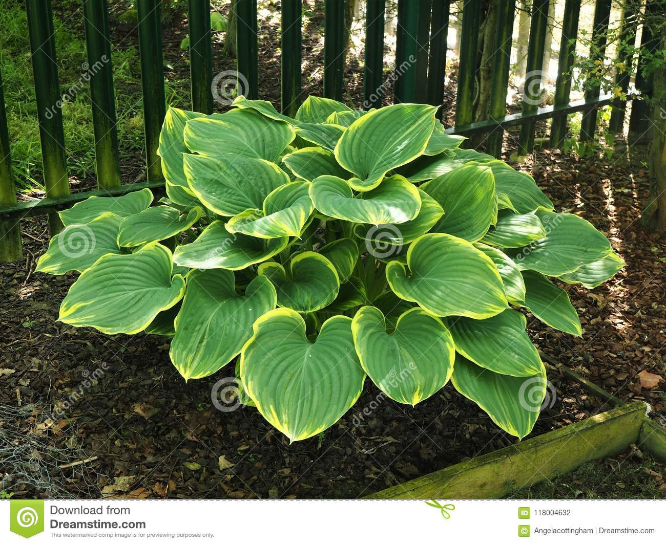 Impressive Hosta Plant With Beautiful Variegated Leaves Stock Photo