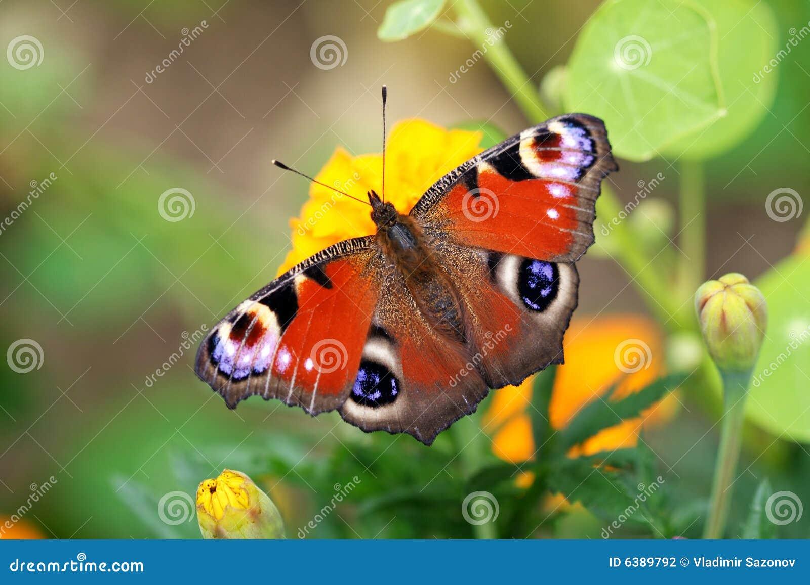 Inachis motyla io