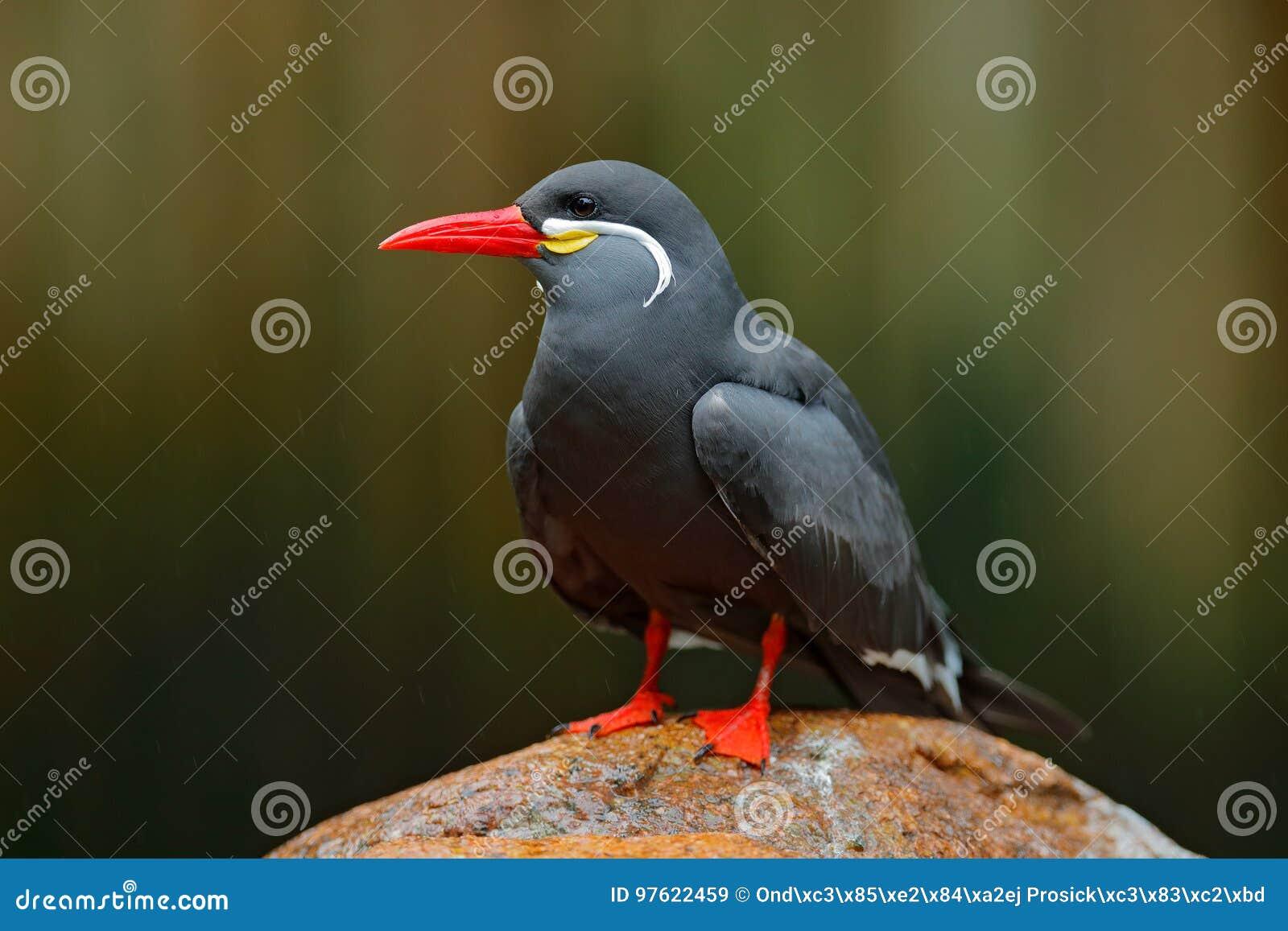 Inca Tern Larosterna inca, fågel på stenen Tärna från peruansk kustfågel i naturhavslivsmiljön Djurlivplats från natur