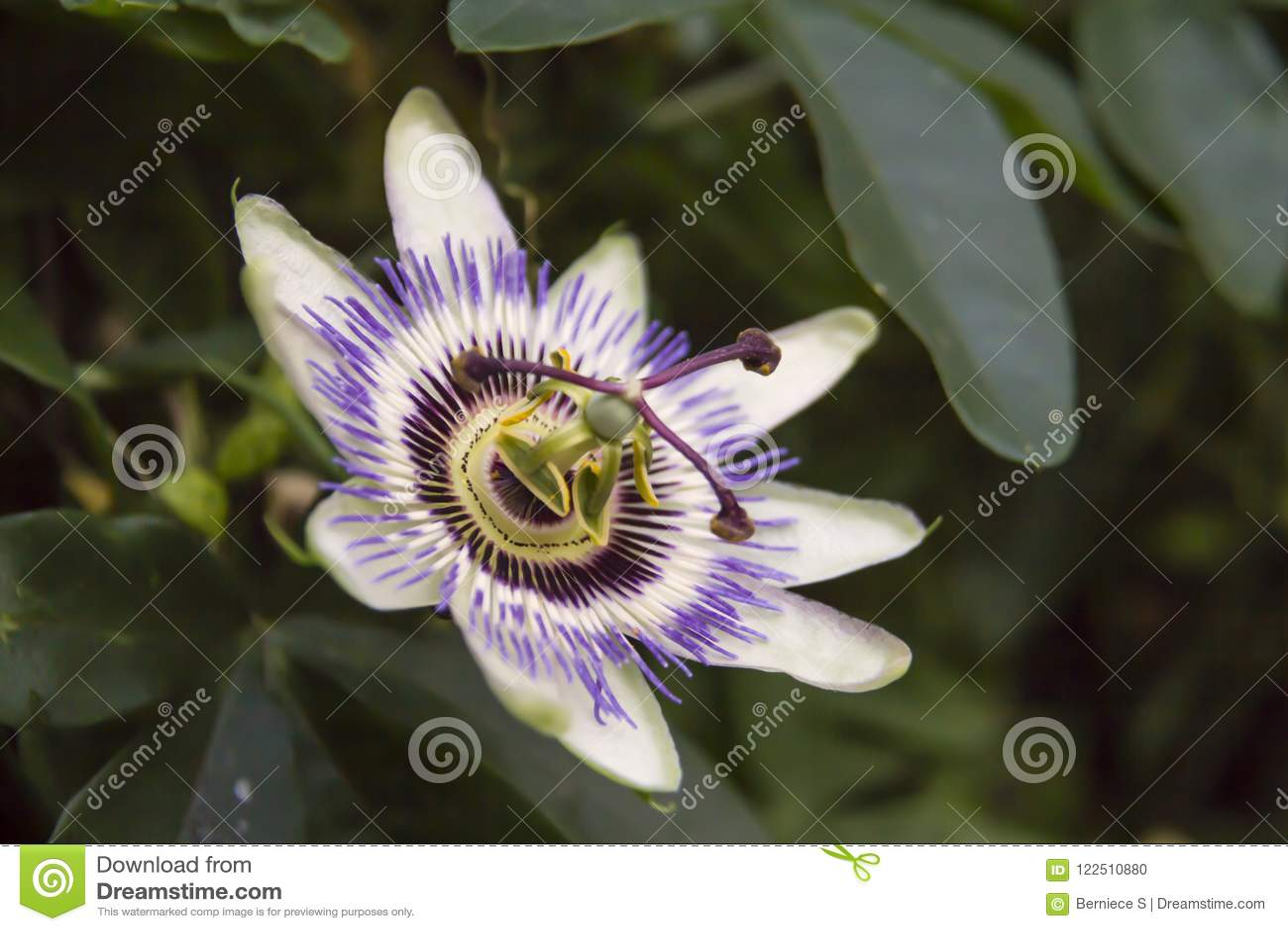 Incarnata пассифлоры, обыкновенно известное как maypop, фиолетовый passionflower, истинный passionflower, одичалый абрикос, и оди