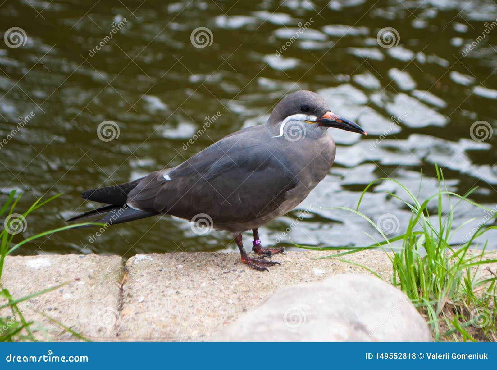 IncatärnaLarosterna inca, grå fågel, med den vita långa mustaschen som sitter på en sten nära en behållare