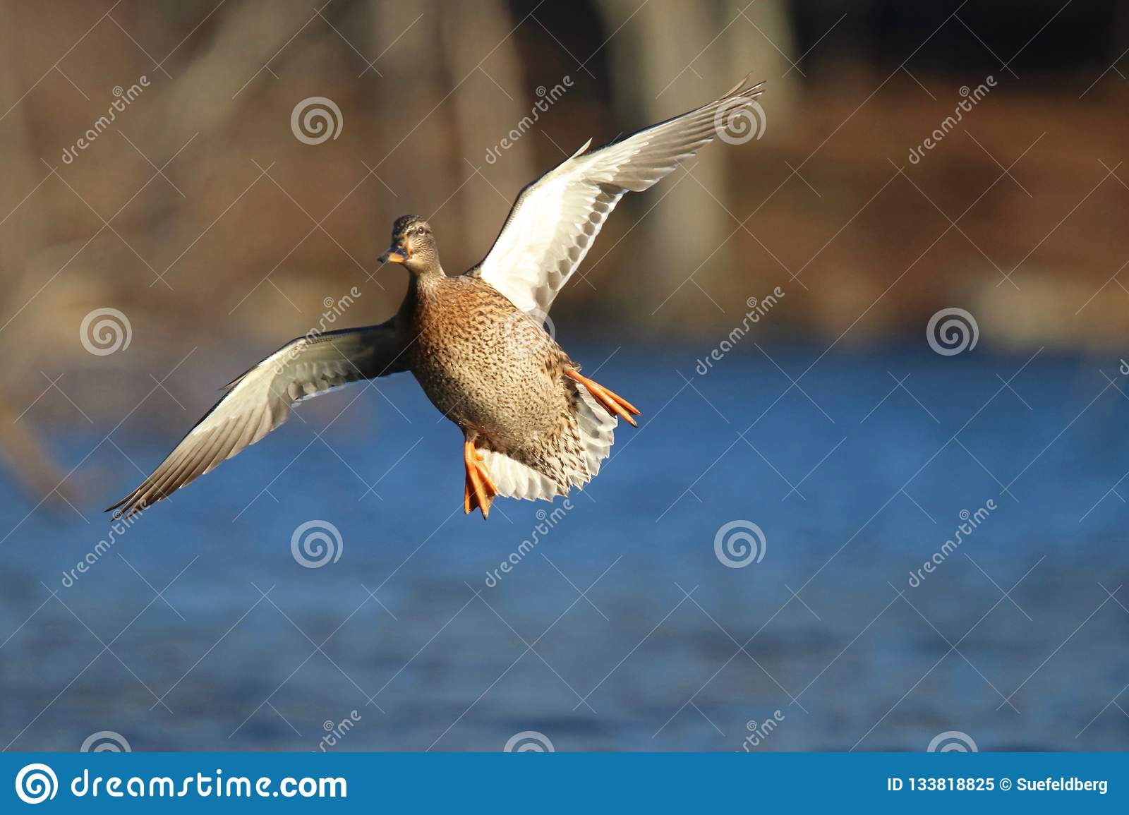 Incoming Mallard Duck in Flight