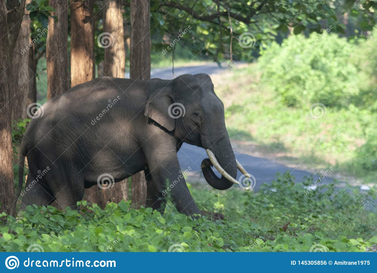 Incrocio di Tusker che esce da foresta, Kabini, Nagarhole, il Karnataka, India