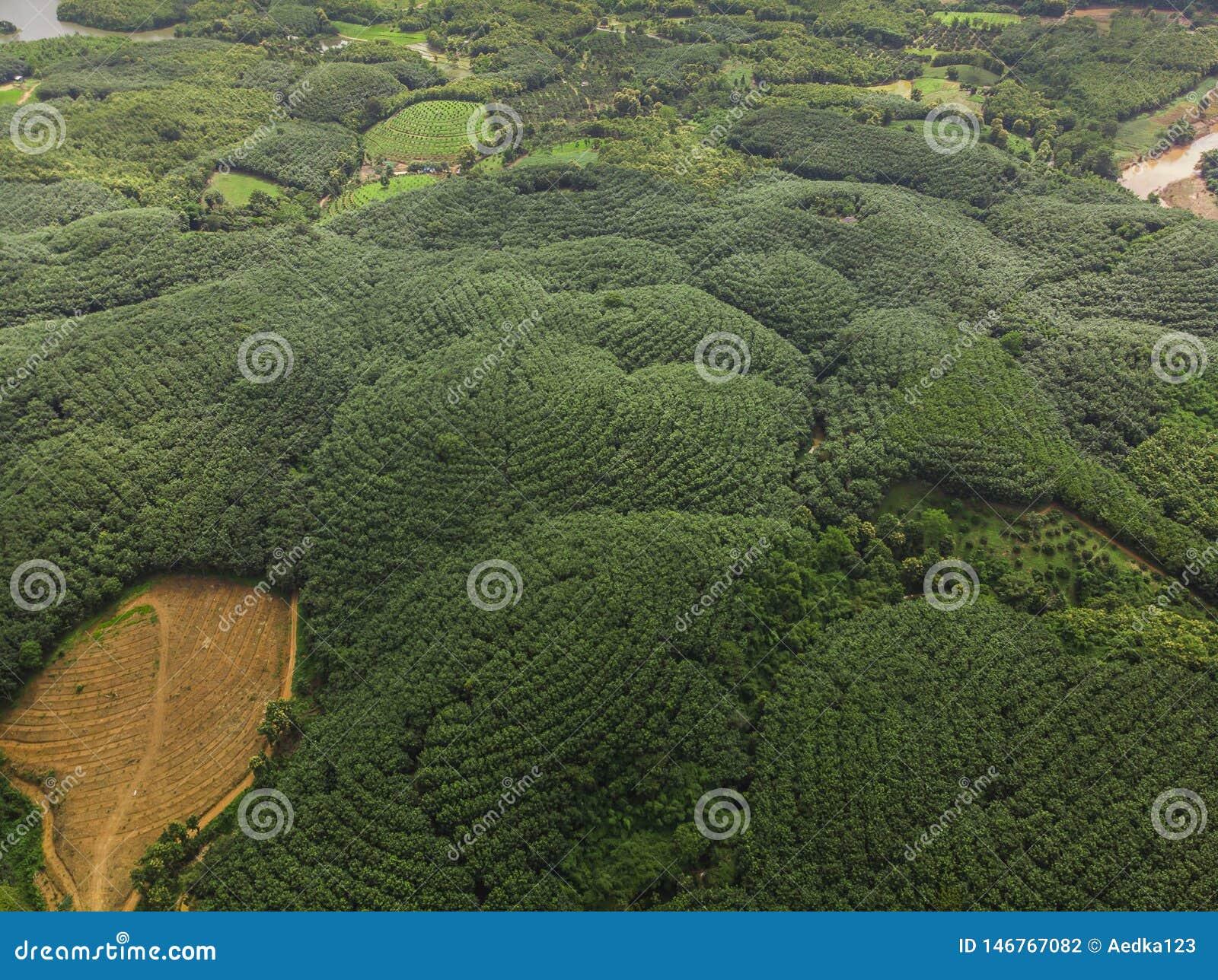 Indústria das árvores da borracha na montanha em Tailândia