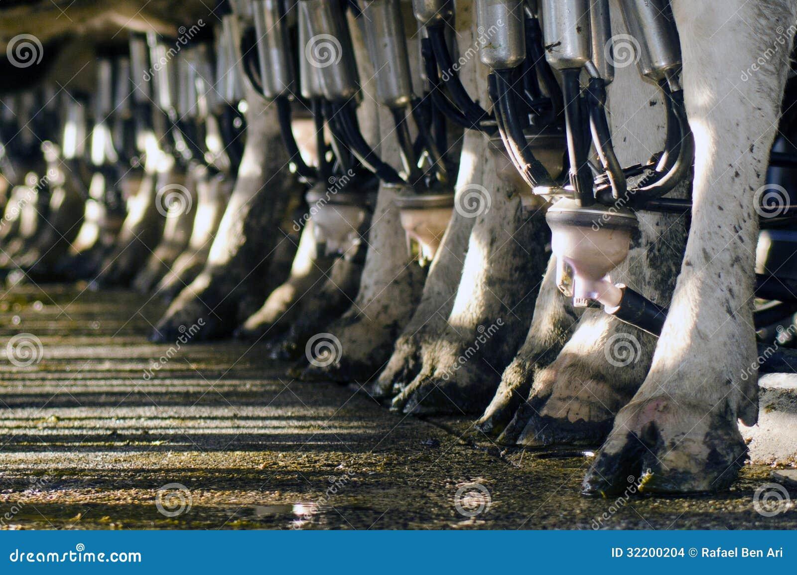 Indústria de leiteria - facilidade de ordenha da vaca