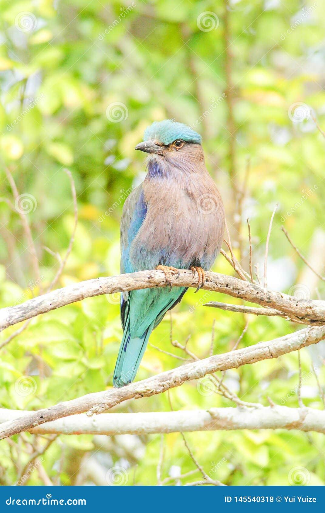 Indiański Rolkowy ptak na gałąź