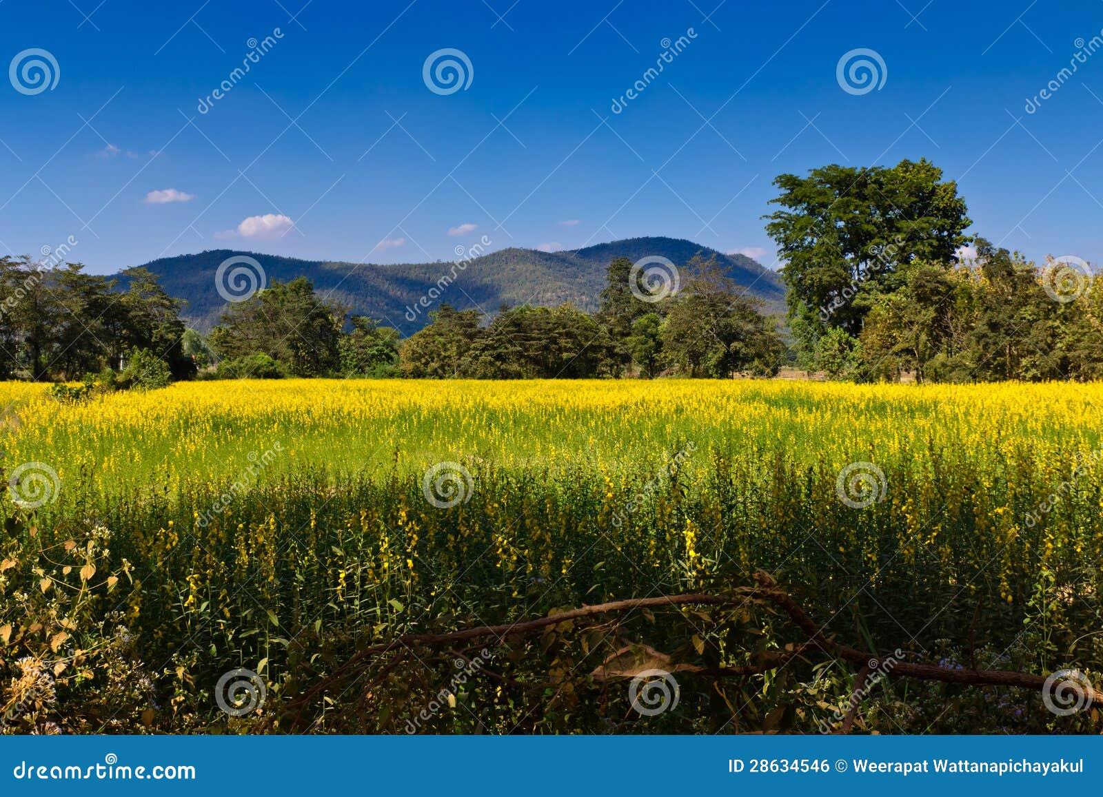Indiańskiego konopie łąka