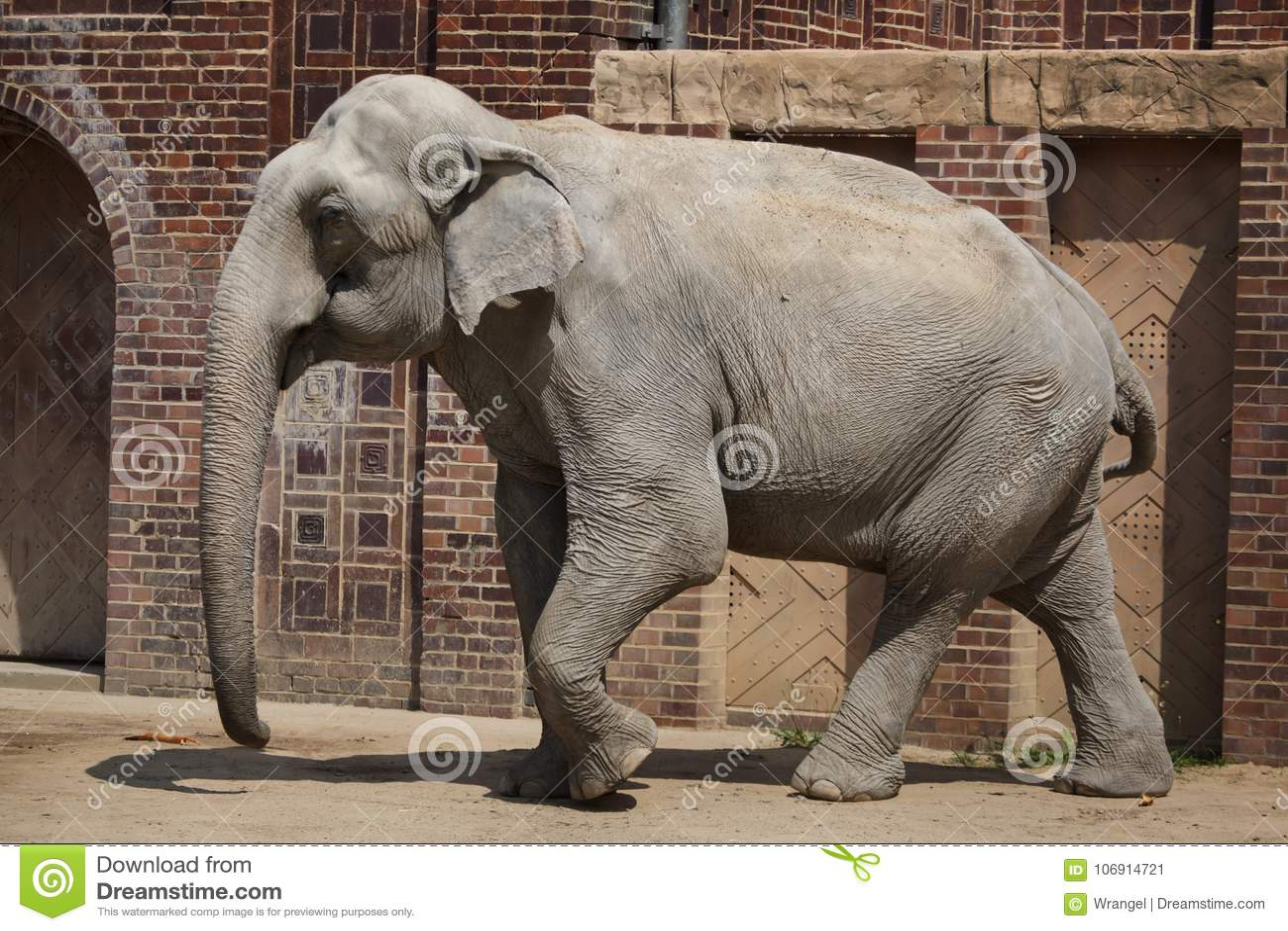 Indiańskiego słonia Elephas maximus indicus
