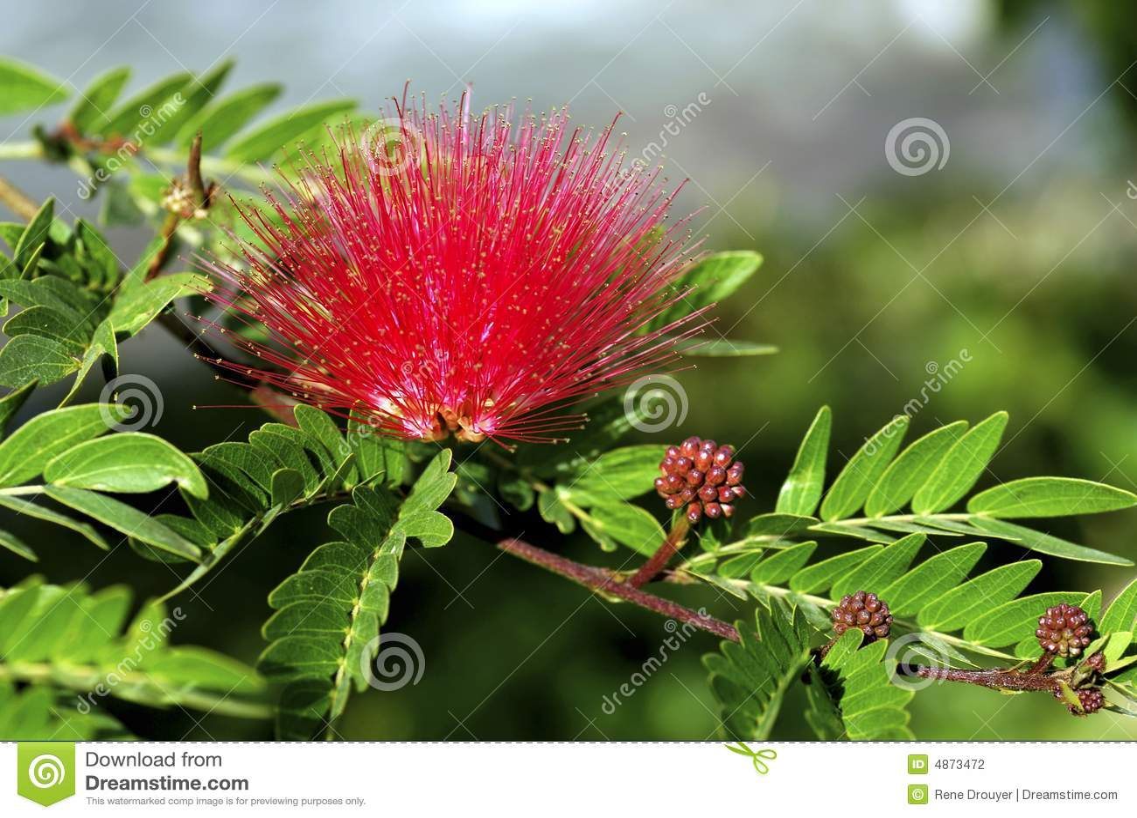 India Bundi Henna Flower Stock Photo Image Of Natural 4873472