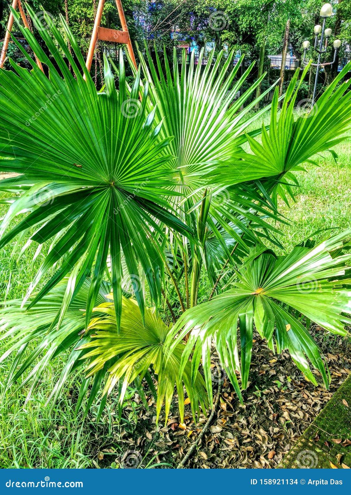 India Croton Plant Name Codiaeum Stock Photo Image Of India Loves 158921134
