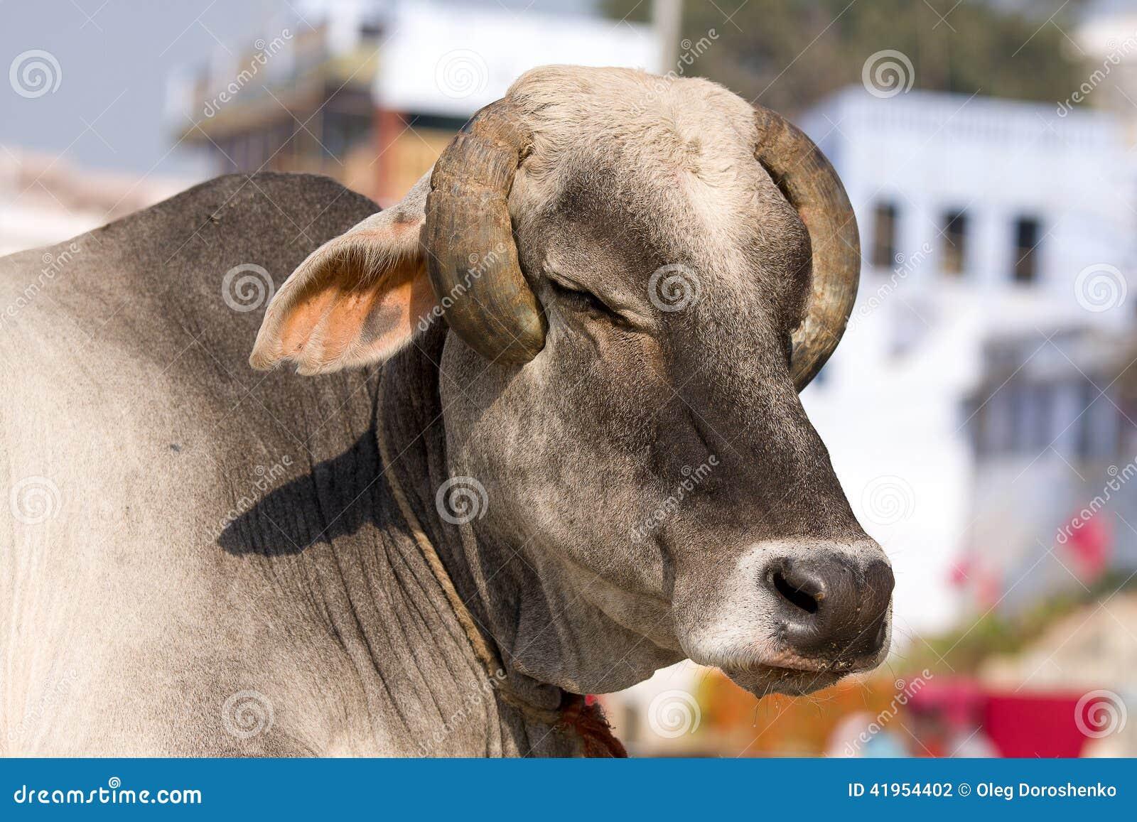 India?ska ?wi?ta krowa