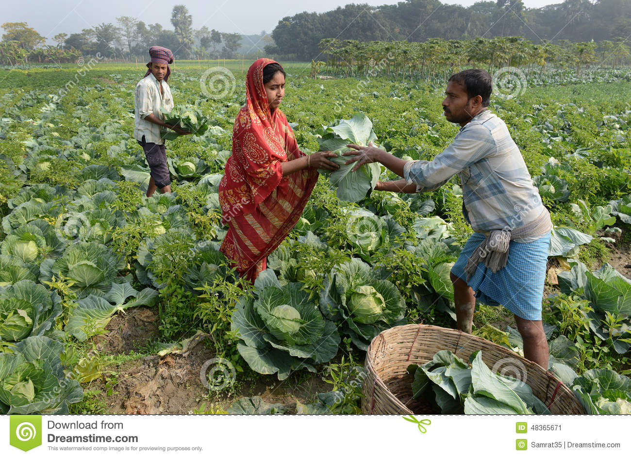 Indian Agriculture editorial photo. Image of cultivated ...