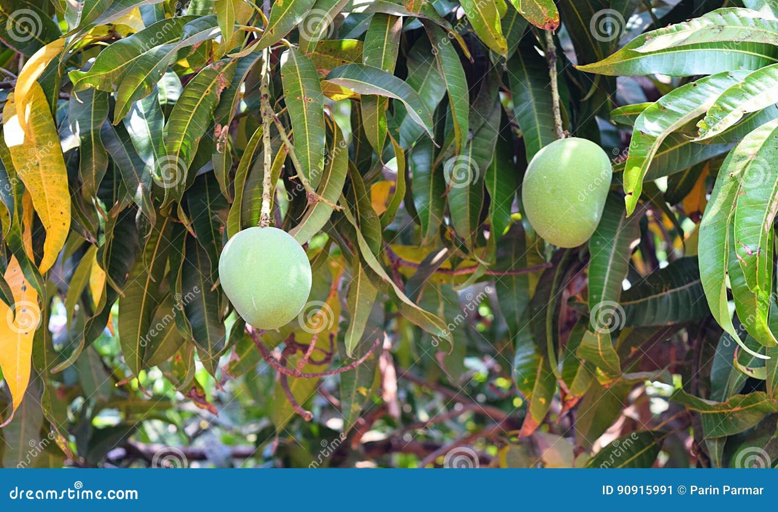 how to grow alphonso mango tree