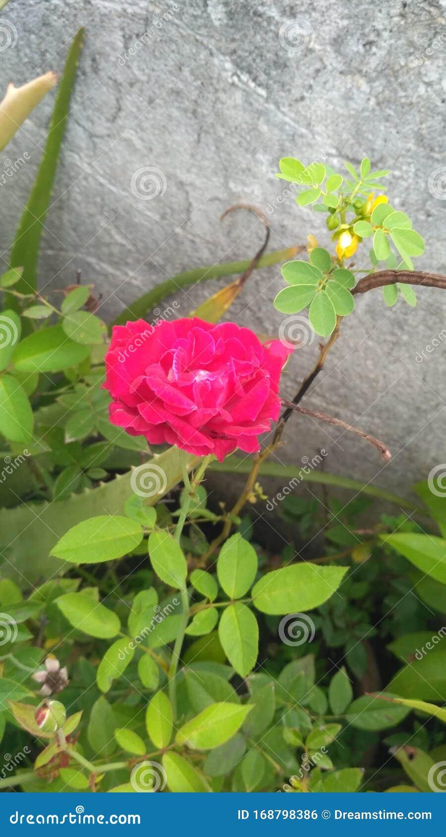Indian Beautiful Plant Beautiful Rose Stock Photo Image Of Shrub Name 168798386,Vegan Burger Recipe Easy
