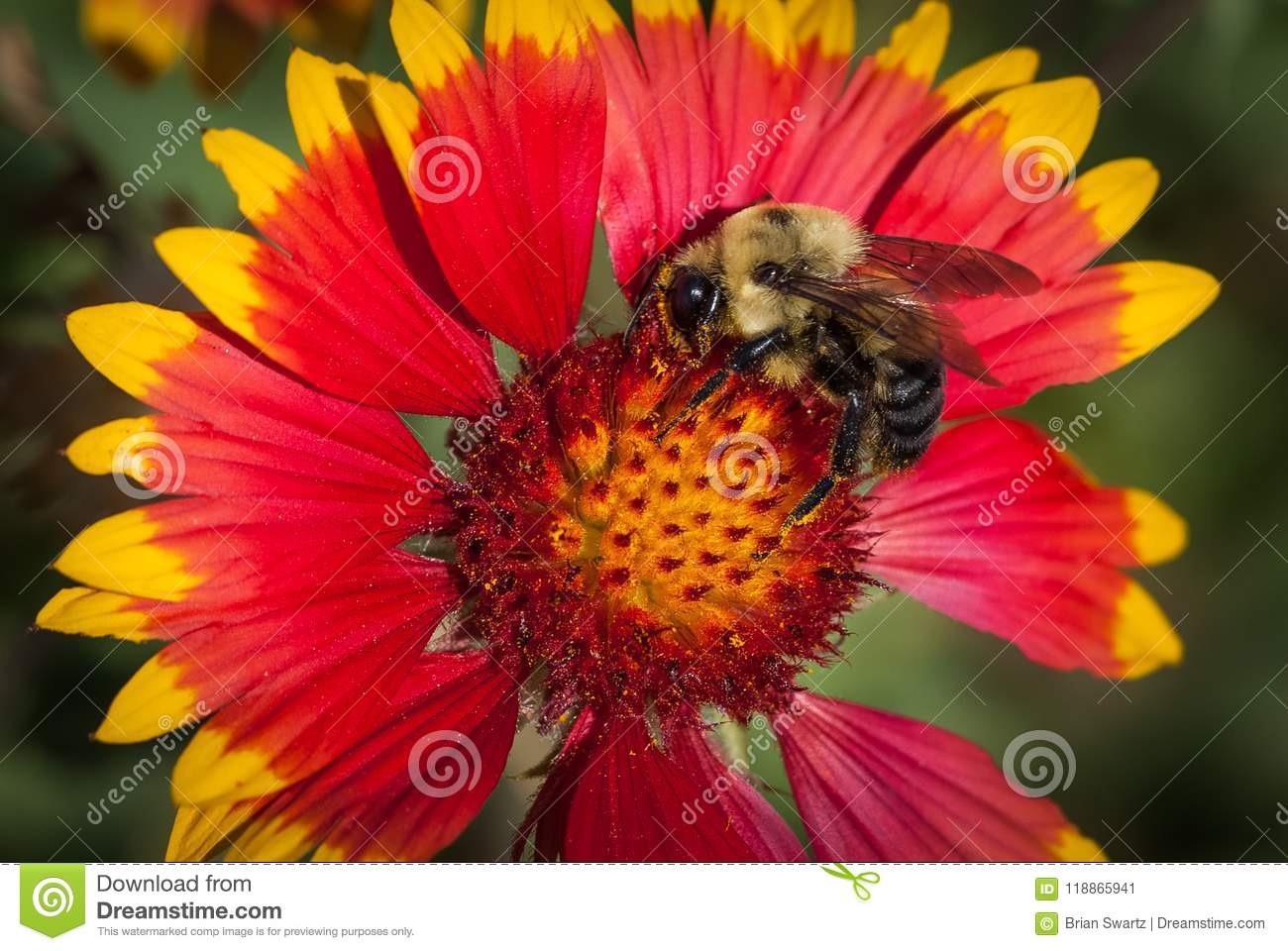 Indian Blanket Flower with a Bumble Bee
