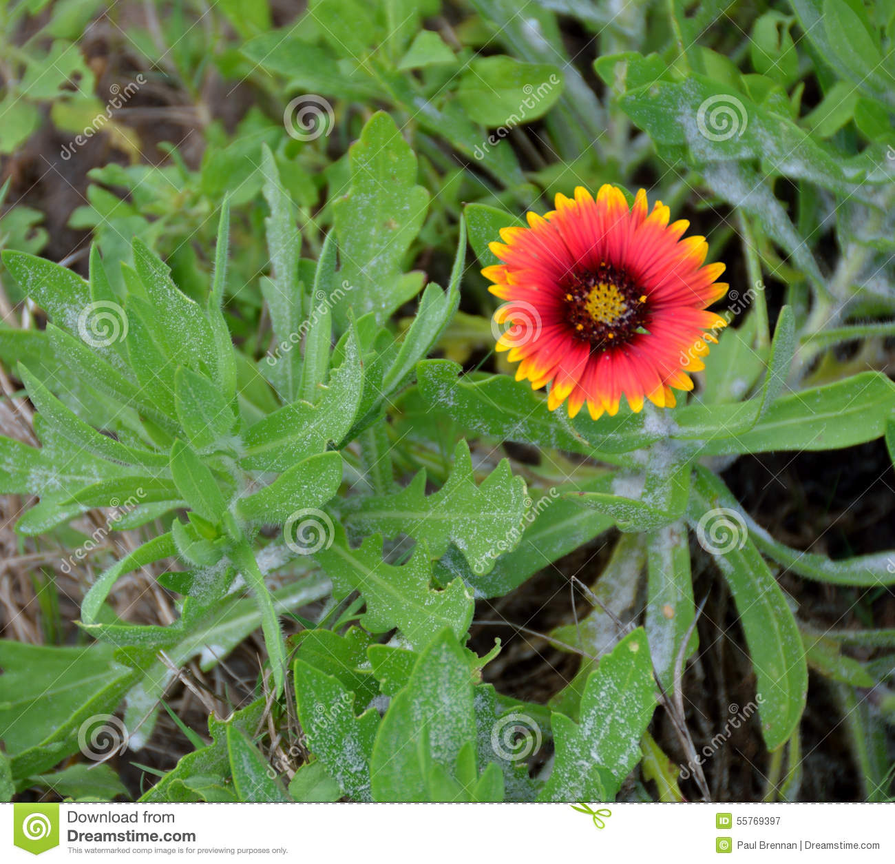 Indian Blanket Flower Plant Stock Image Image Of Outdoors Blanket