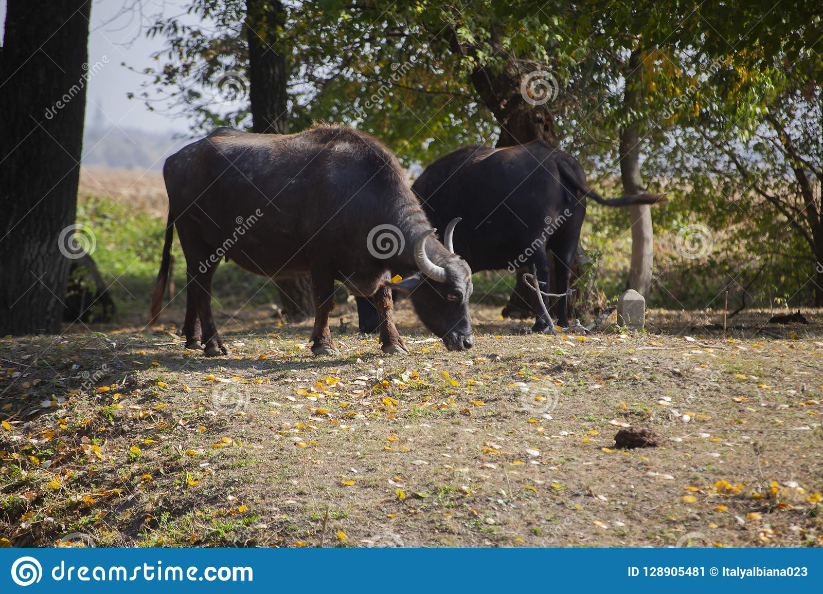 Indian buffaloes in forest near the lake in serbia