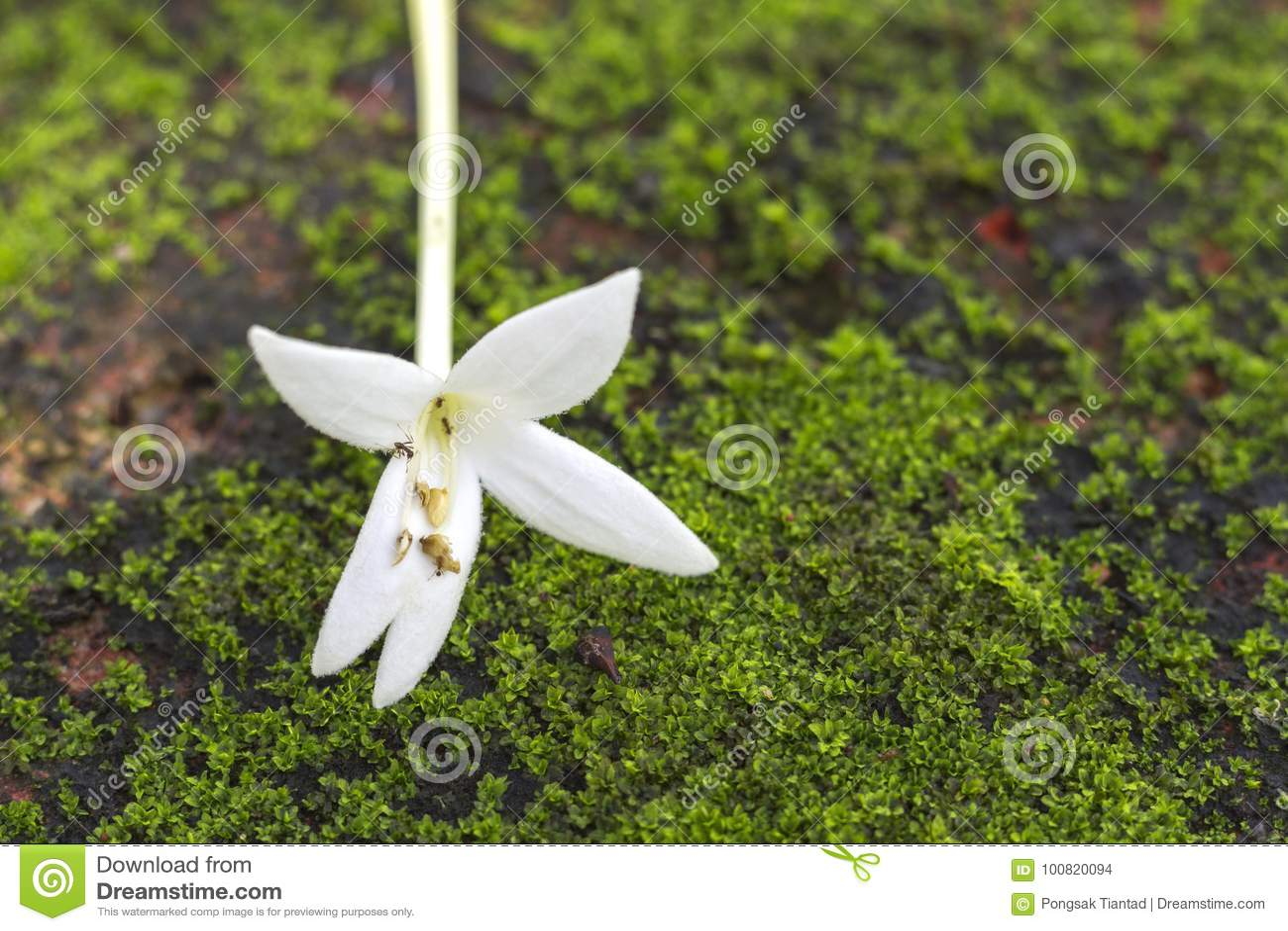 Indian Cork Flower On The Floor In The Garden Stock Photo Image