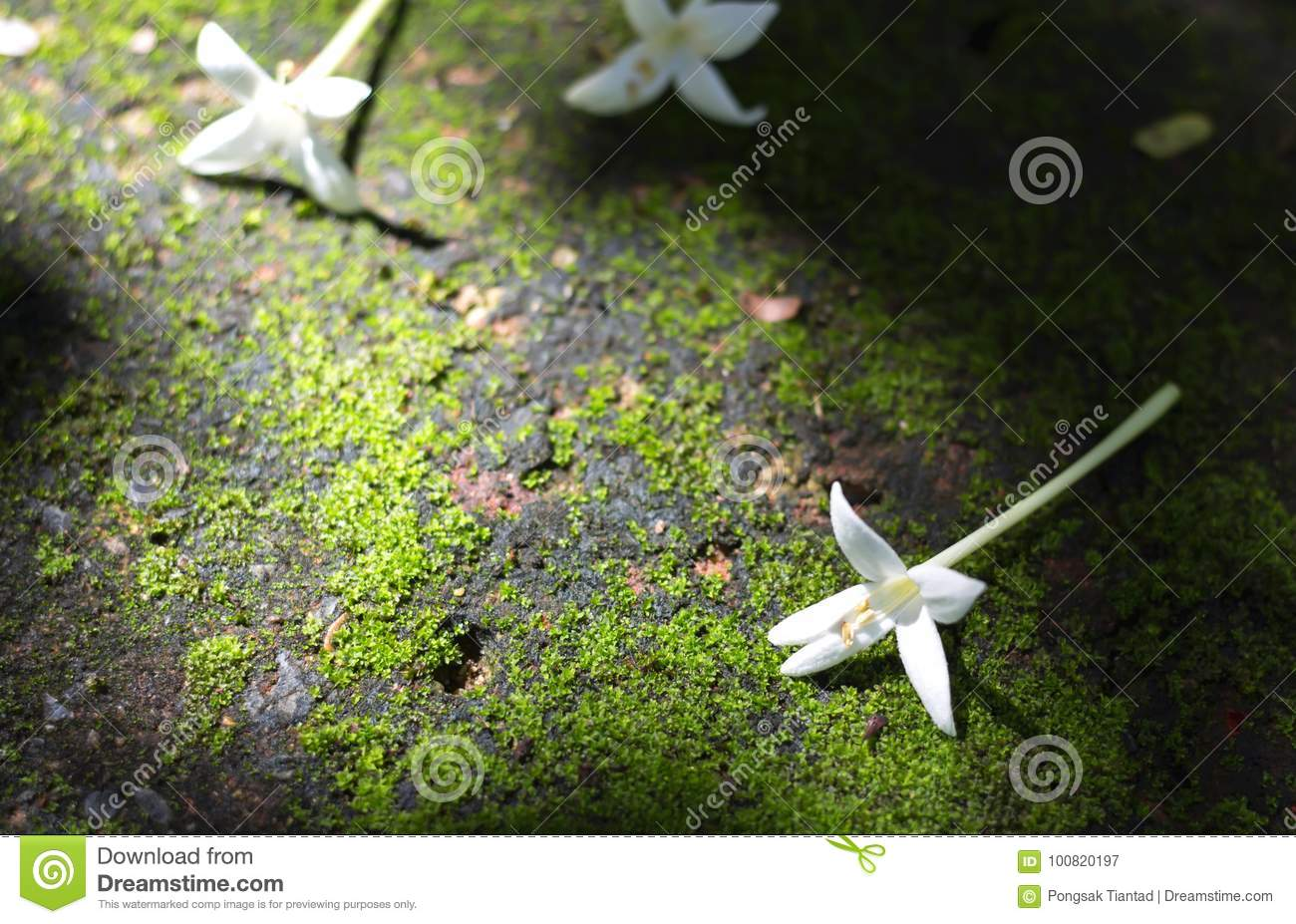 Indian Cork Flowers On The Floor In The Garden Stock Image Image