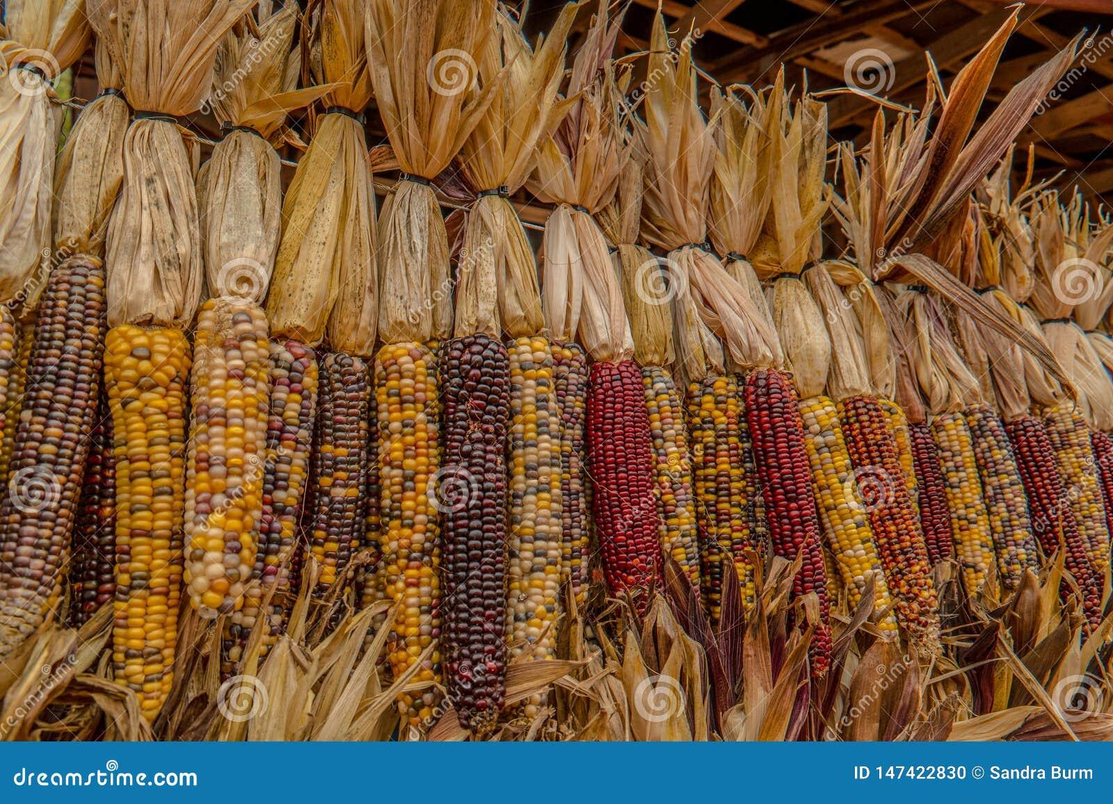 Indian corn in autumn