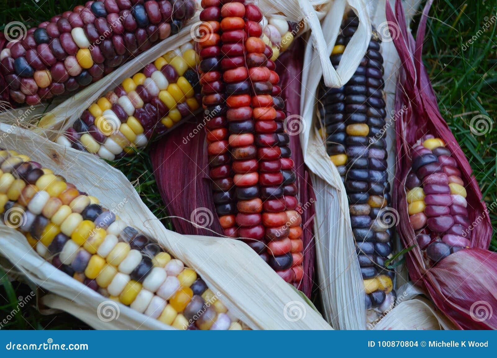 Indian corn on grass
