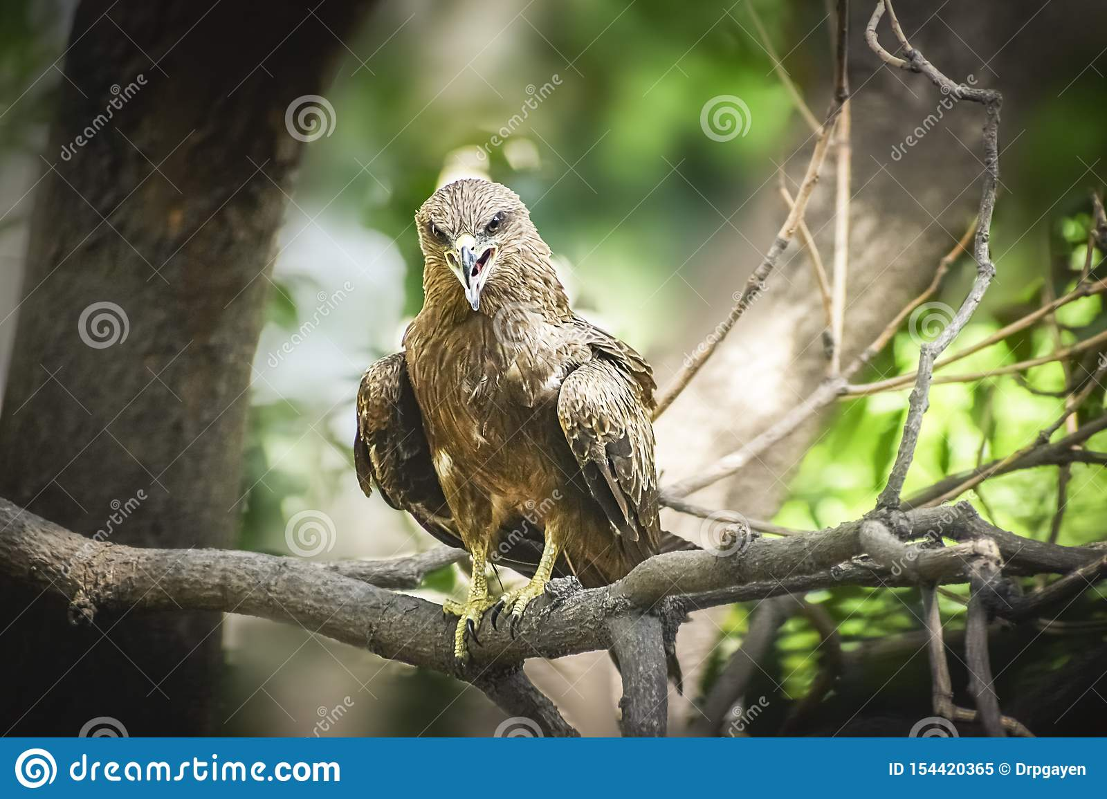 Indian Eagle,the Kite sitting on the tree branch in the defth of field picture. India