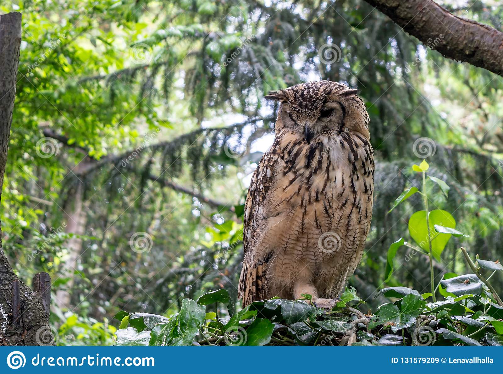 Indian eagle-owl, also called rock eagle-owl or Bengal eagle-owl Bubo bengalensis