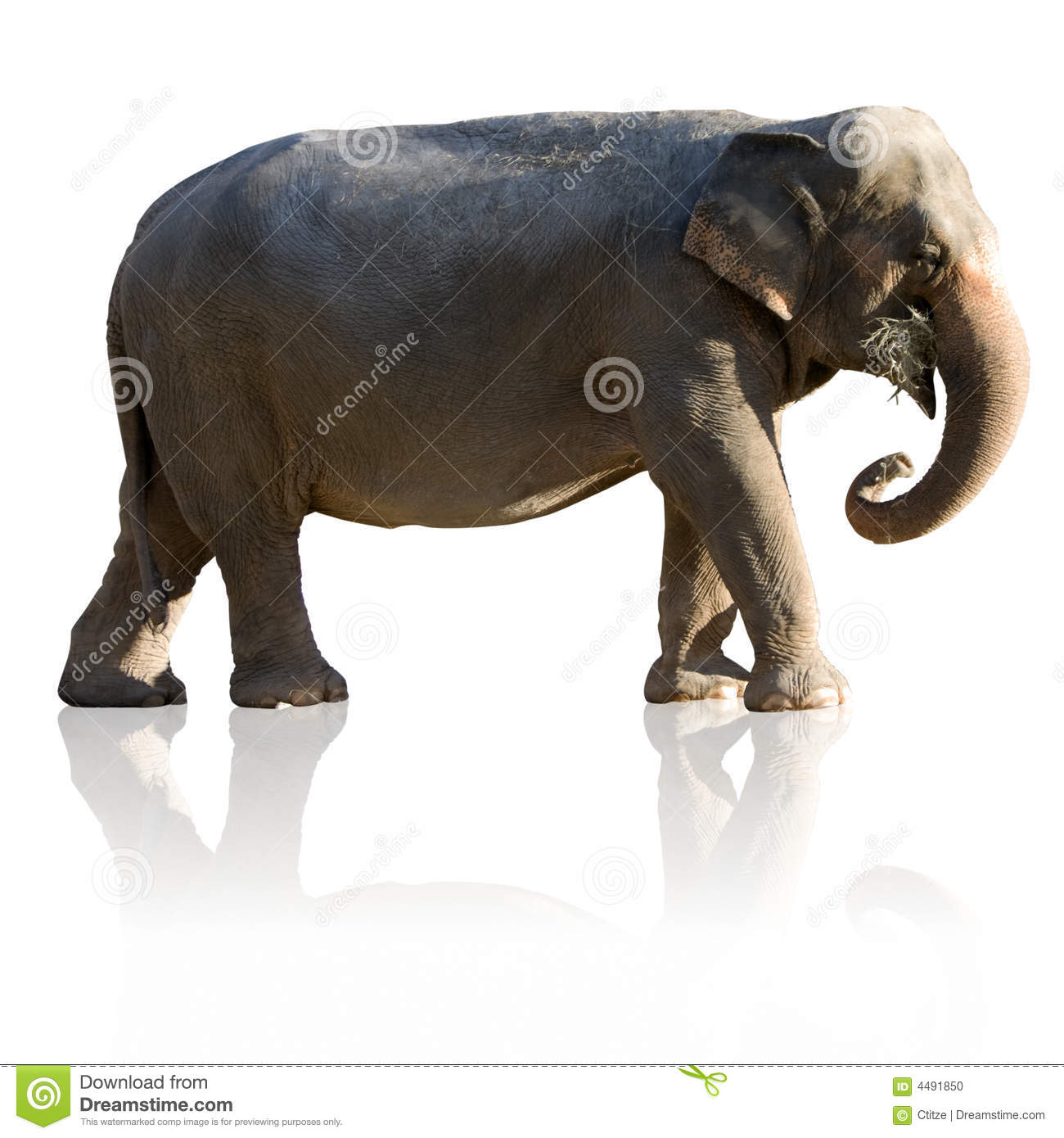 Indian Elephant (with clipping path and reflection