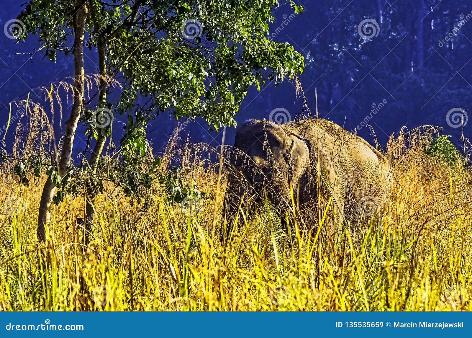 Indian elephant hidden in the bush - Jim Corbett National Park, India