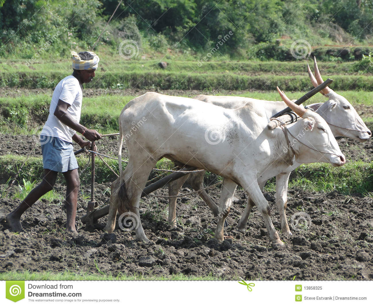 indian farmer plows with bullocks editorial image image Bird Clip Art Bird Clip Art