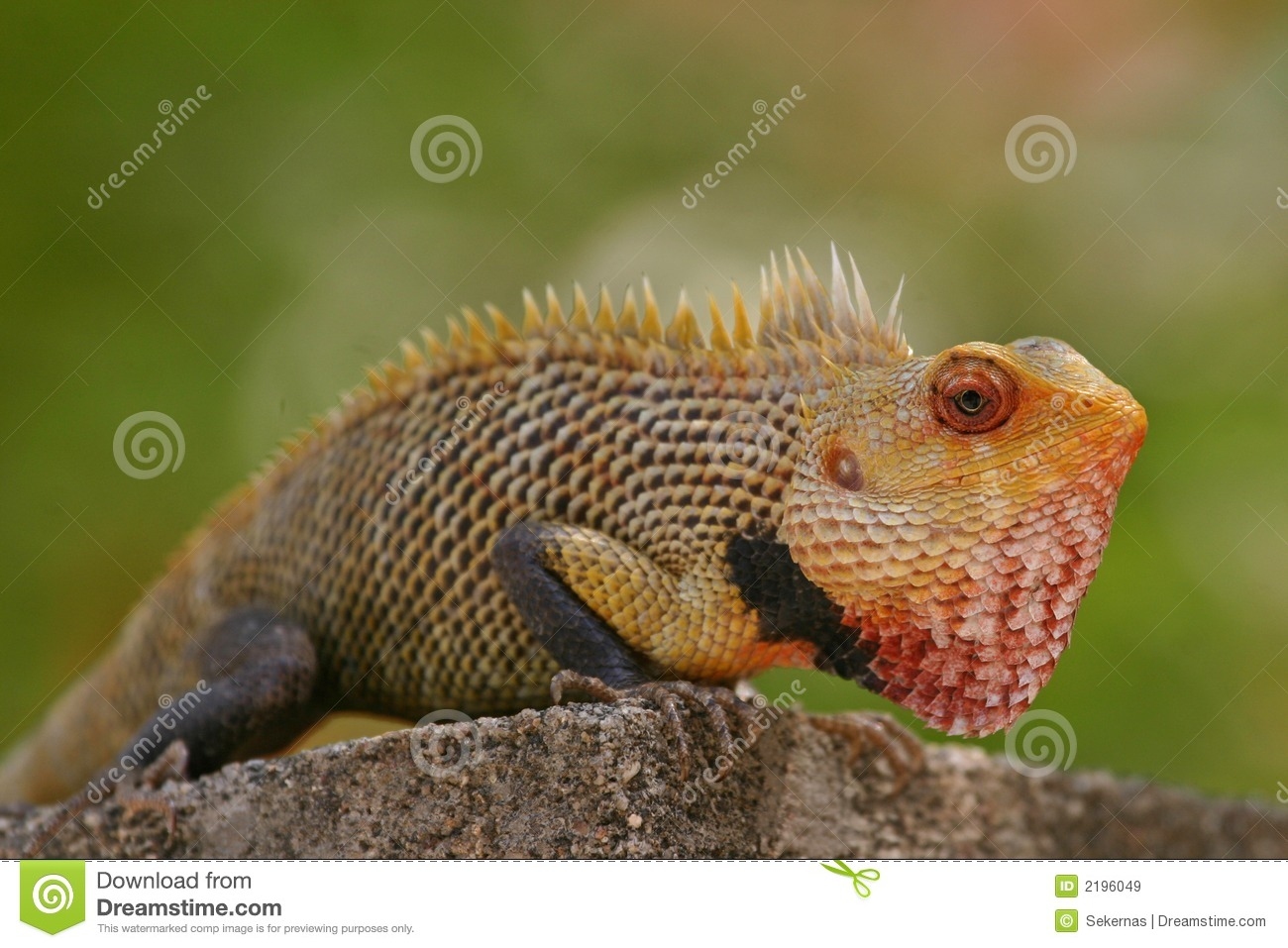 Indian garden lizard stock image. Image of animal, dragons - 2196049