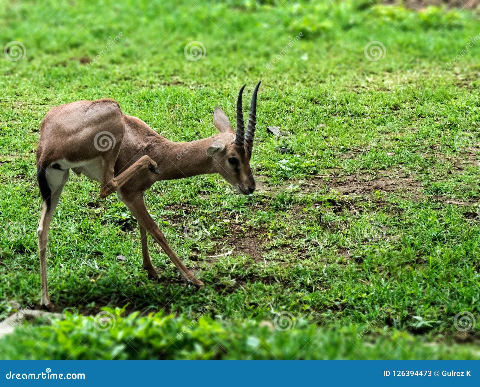 Indian Gazelle or Chinkara stock image  Image of chinkara - 126394473