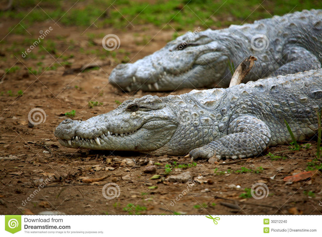 Indian Gharial Crocodiles Stock Photo - Image: 30212240