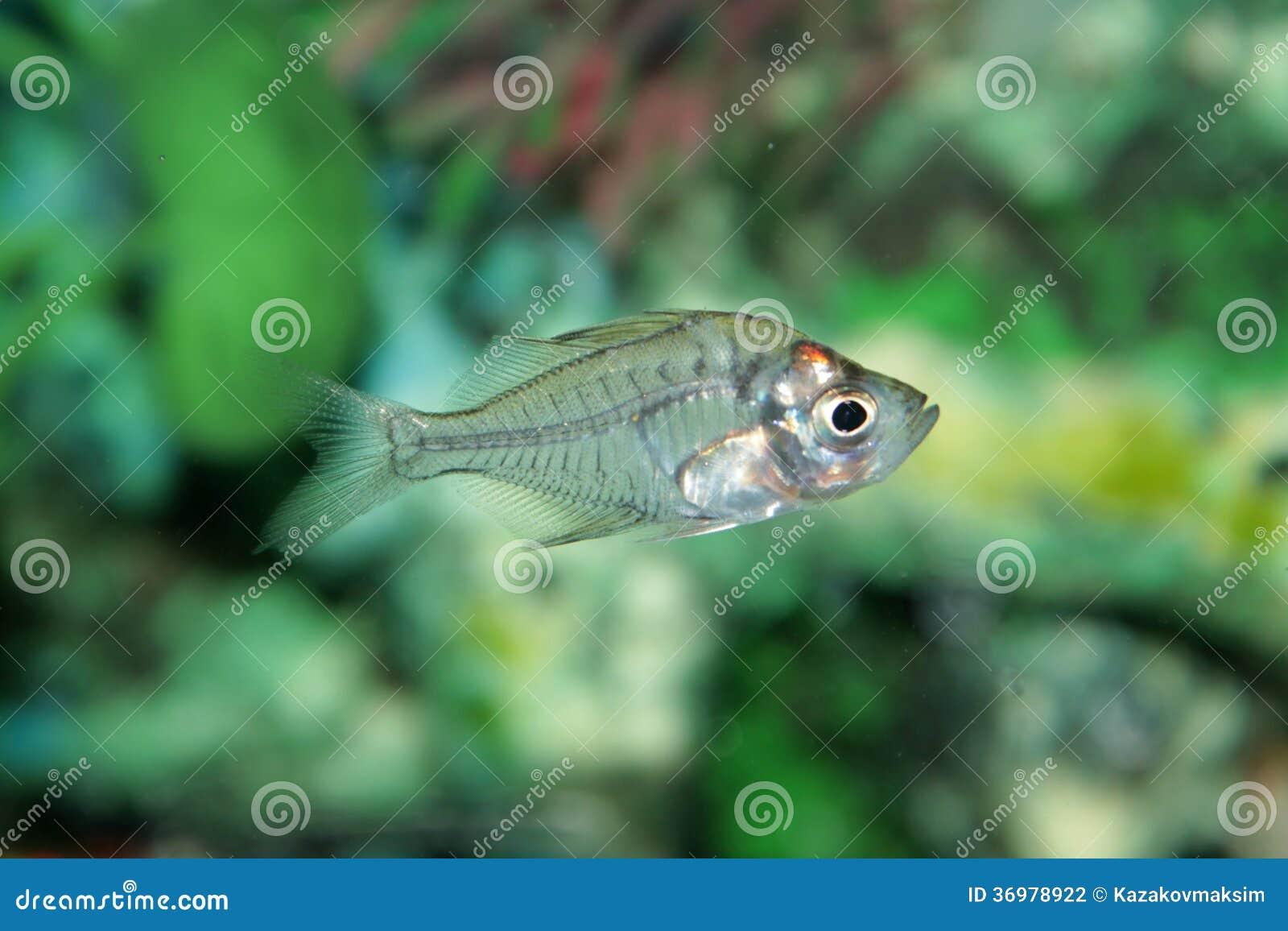 Indian Glass Perch Aquarium Fish Stock Photo Image Of Glassy
