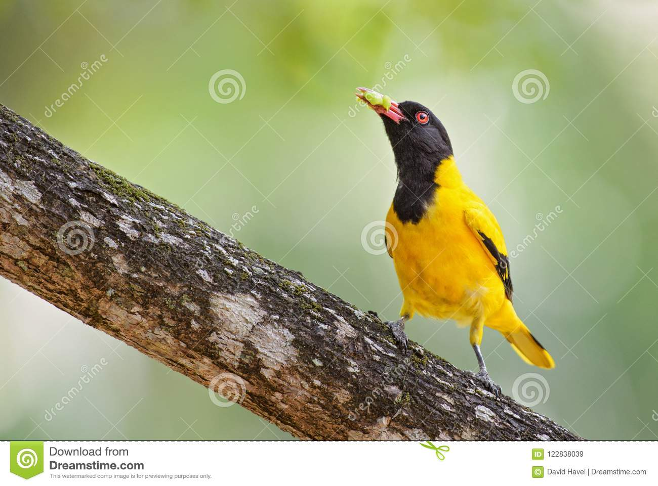 Indian Golden Oriole Oriolus Oriolus Kundoo Download Preview