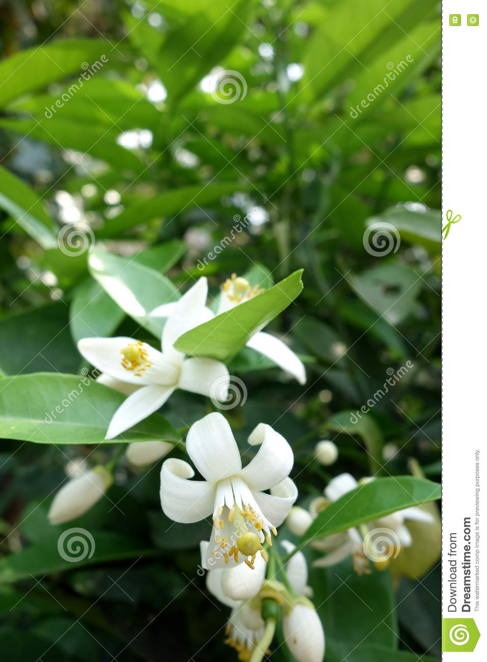 Indian jasmine flower stock photo image of fragrant 70792984 indian jasmine flower izmirmasajfo
