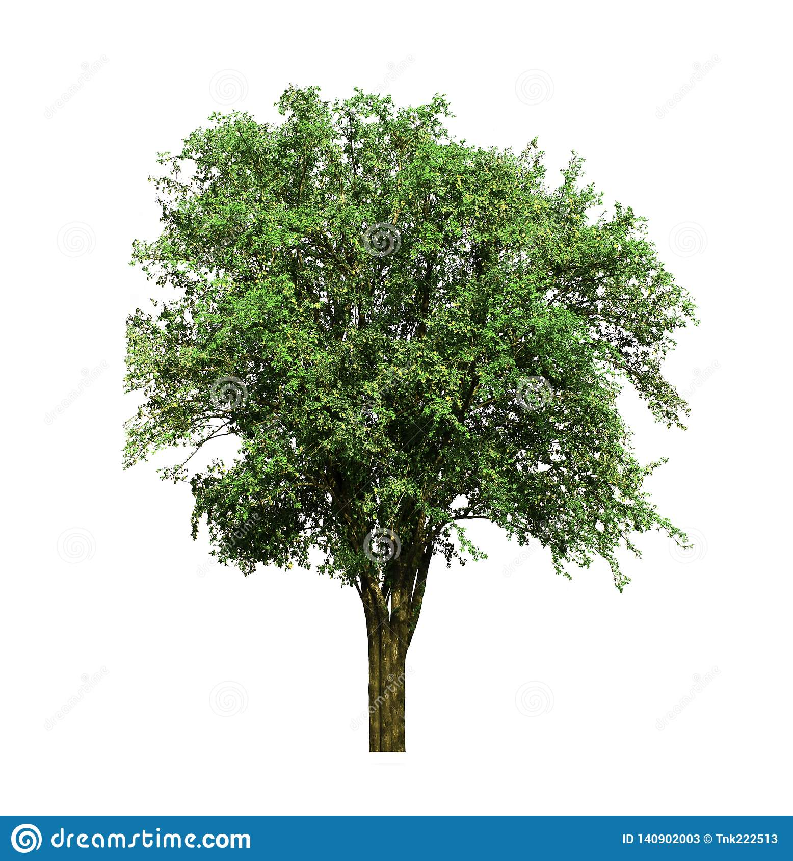 Indian jujube tree, tropical fruit growing up in the organic rice fields isolated on white background.