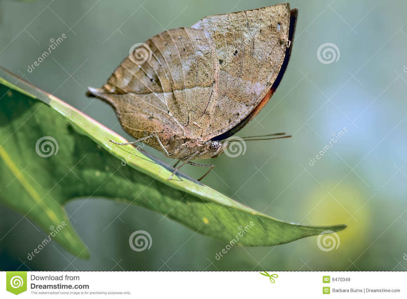 Indian Leaf Butterfly Stock Image. Image Of Green