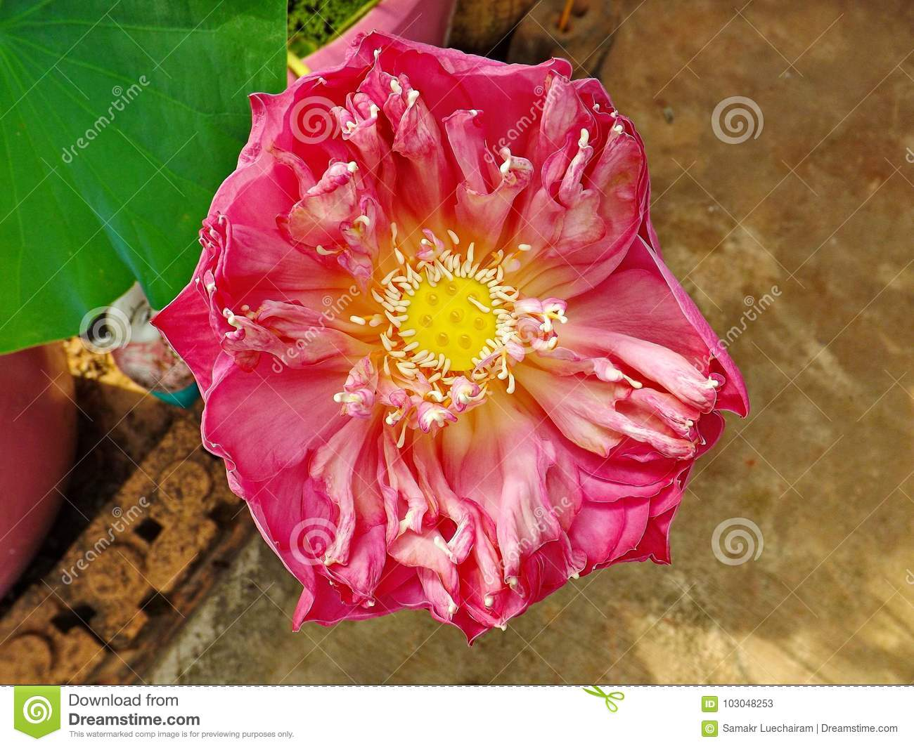 Indian Lotus Flower Of Pink Color Stock Image Image Of Plant