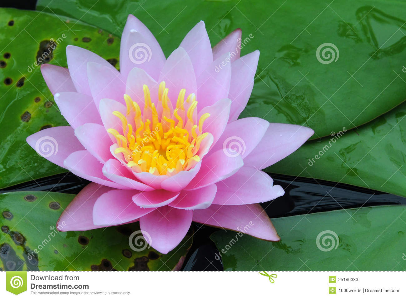 ... nucifera), commonly also referred to as Water Lily, in a Garden Pond