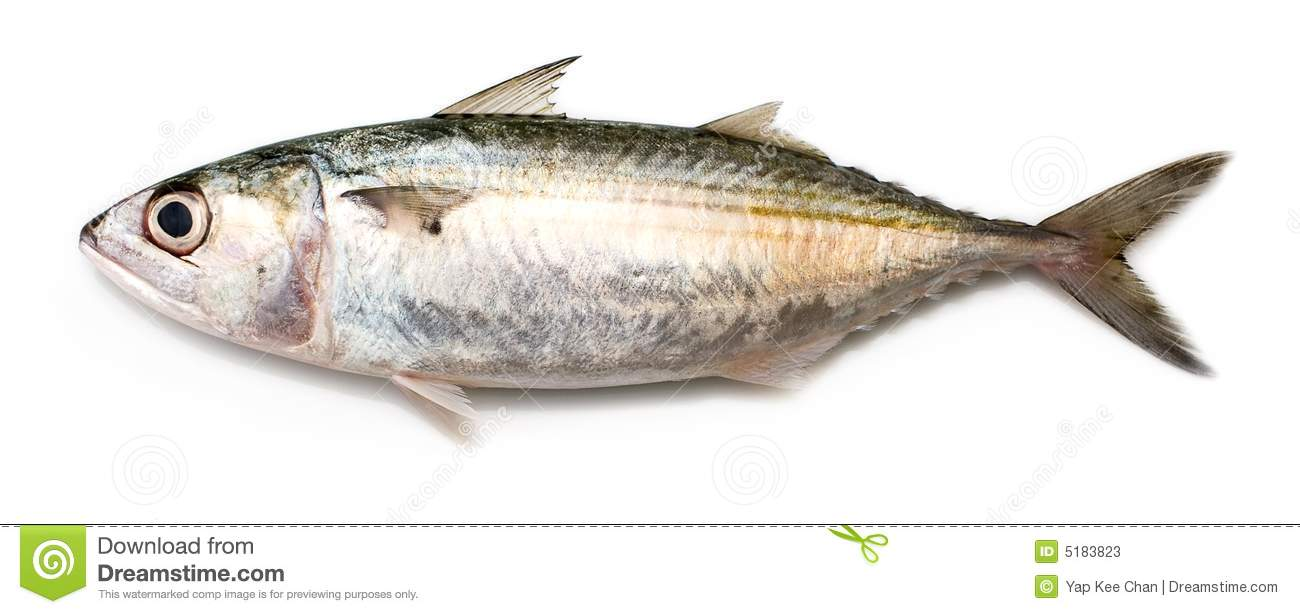 Fully grown matured mackerel found in large schools in the oceans.
