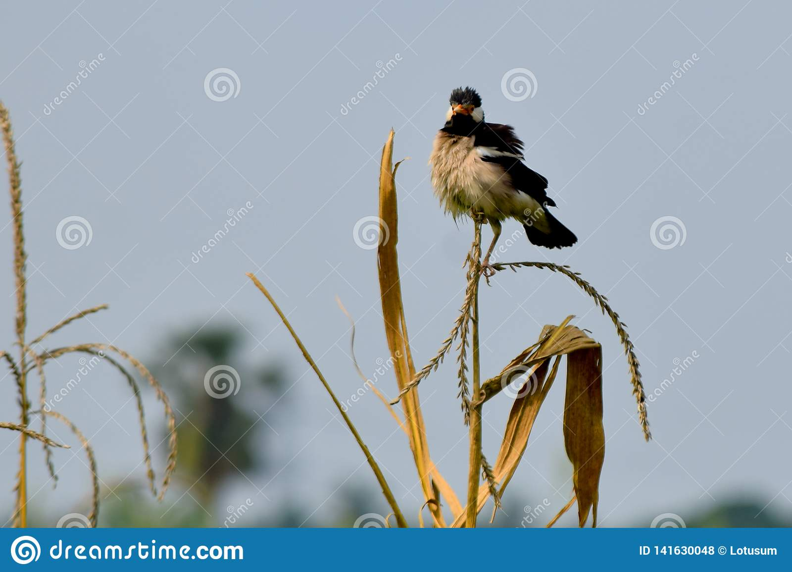 Indian mayna myna white and black angry bird