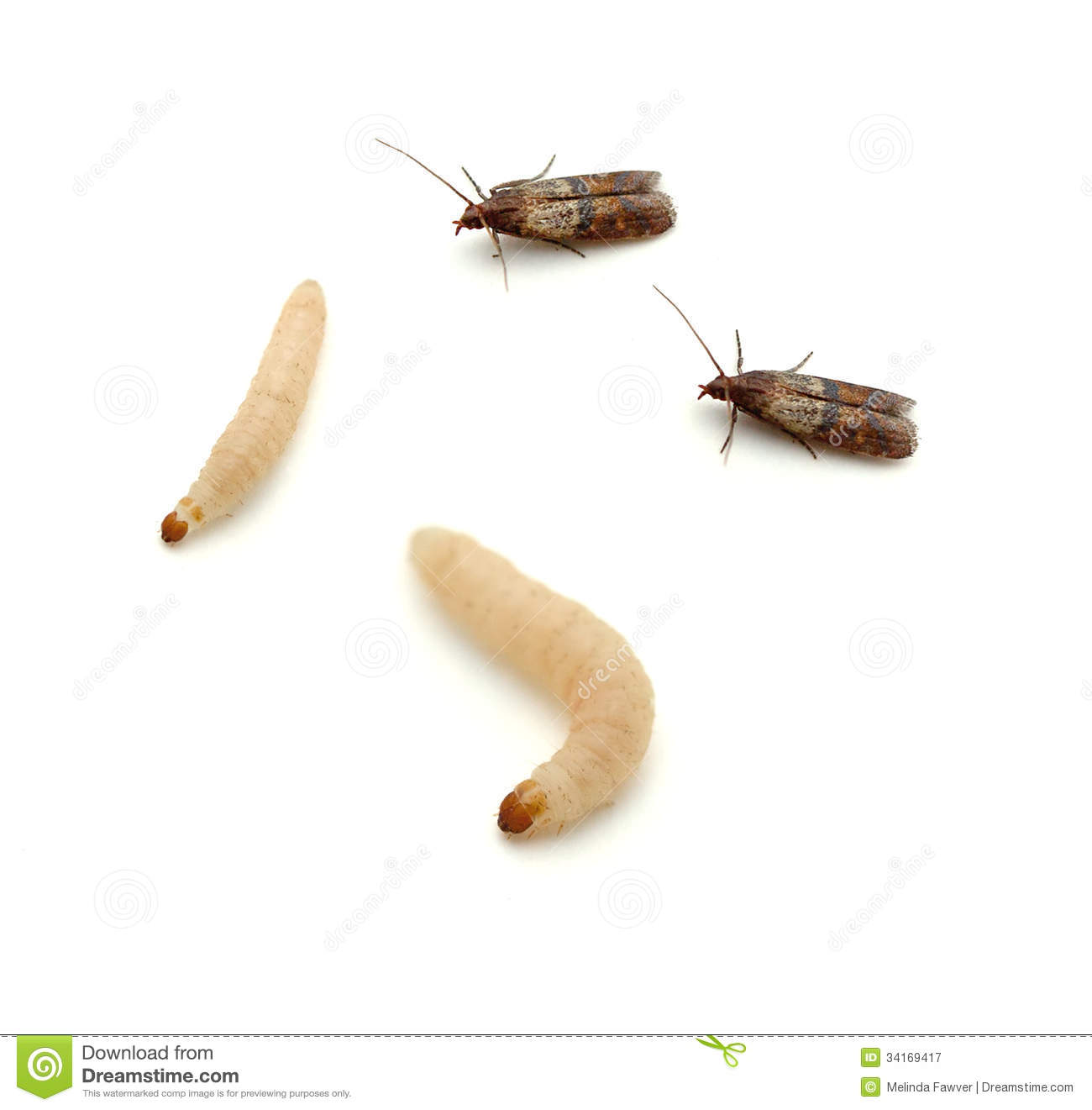 Indian Meal Moth and larvae (Plodia interpunctella) on a white ...