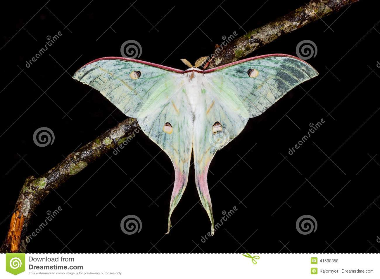 The Indian Moon Moth moth