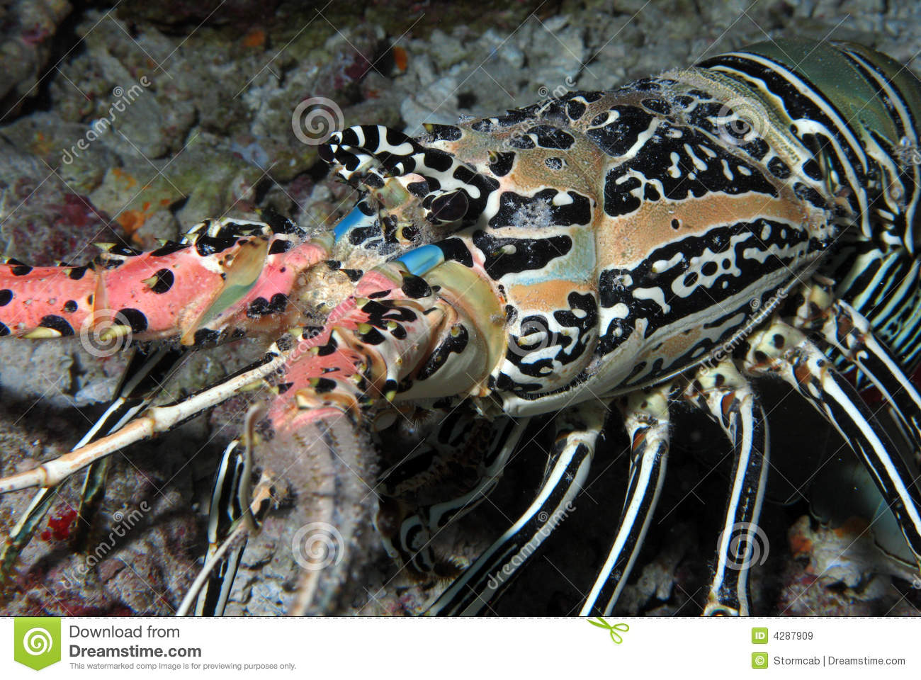 Indian Ocean Lobster stock image. Image of marine, shell - 4287909