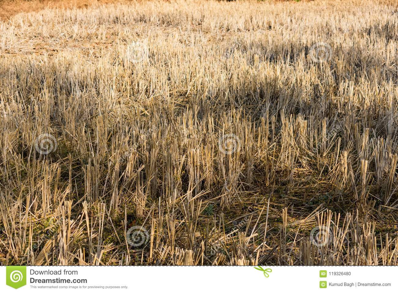 Indian paddy straw at close view looking awesome in a indian paddy farming field.