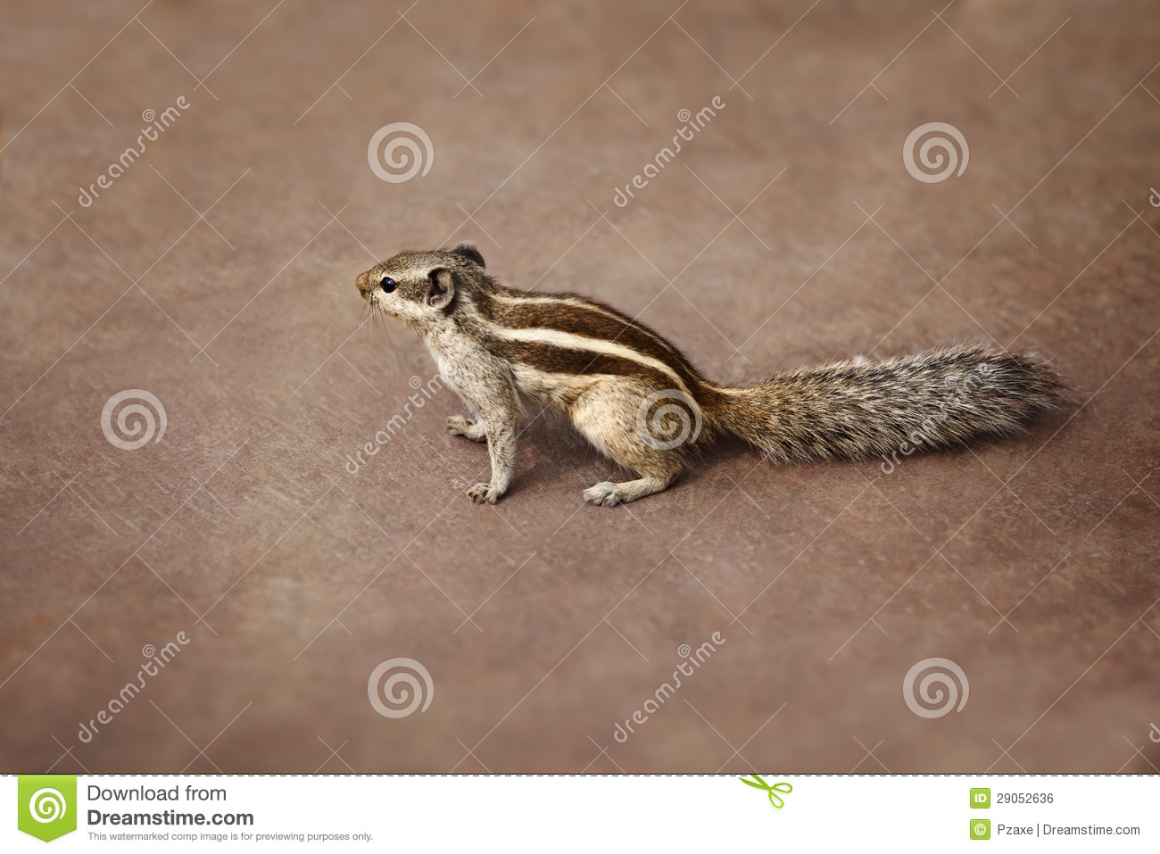 Indian Palm Squirrel On Brown Background Stock Photo ...