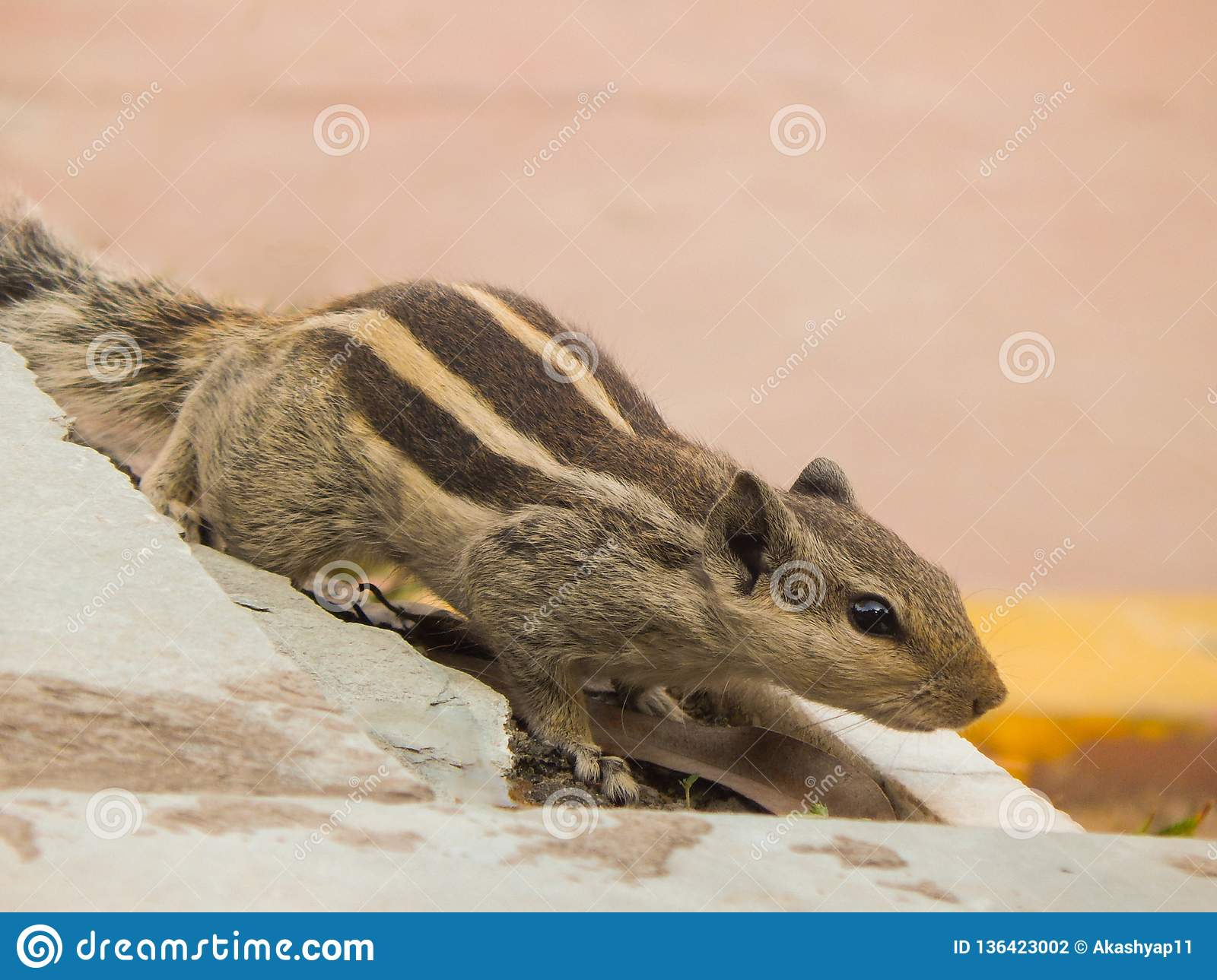 Indian palm squirrel having three stripes on a wall.
